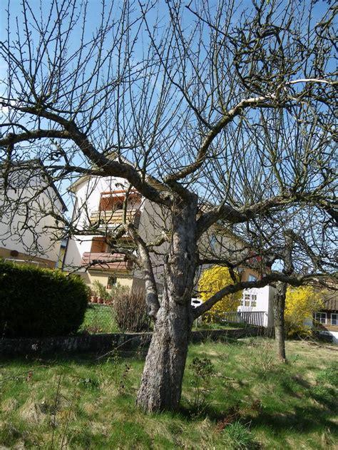 alten apfelbaum schneiden alten birnbaum schneiden