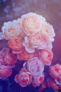 Beautiful Pink Roses iPhone Wallpaper | iPhone Wallpapers ...