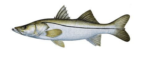 florida fish species fishinginmiamicom