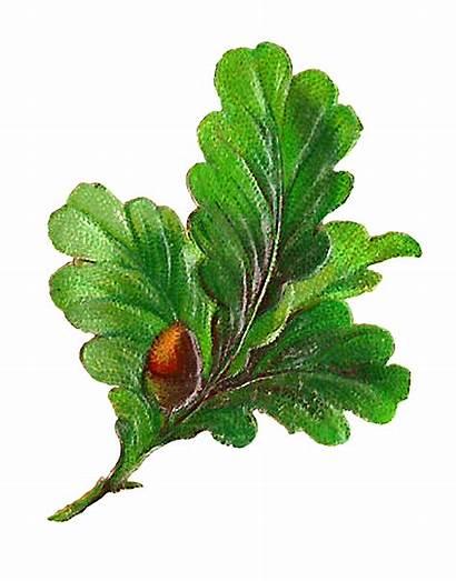 Digital Leaves Leaf Clip Botanical Acorn Clipart