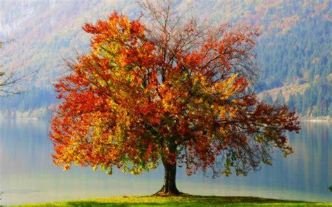 a tree in the fall fall tree wallpaper 1920x1200 5702