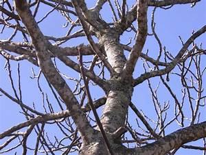 Comment Tailler Un Ficus : taille du figuier quand et comment tailler un figier ~ Melissatoandfro.com Idées de Décoration
