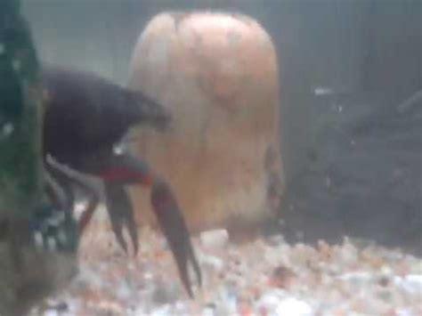 mon aquarium 233 crevisse poisson d eau douce