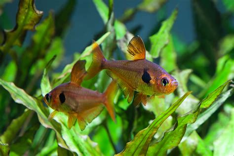 top  freshwater fish species  planted tanks