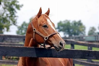Genuine Reward Capone Seabiscuit Rick Racehorse Horses
