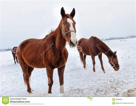 snow horses brown horse winter pasture flames preview cold dreamstime campfire