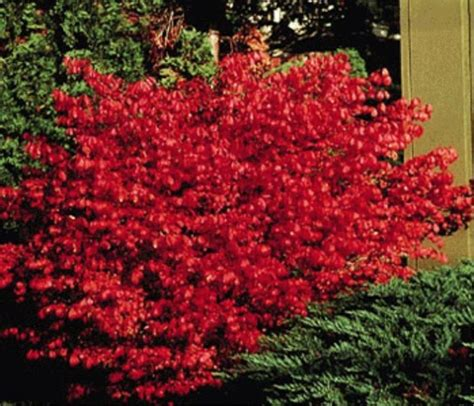 burning bush plant burning bush dwarf outdoors pinterest
