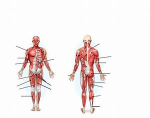 Unit 4 Part 2 - Anterior And Posterior Human Muscles