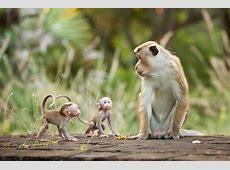 Monkey Kingdom Film Calendar The Austin Chronicle