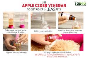 apple cider vinegar fleas cats how to get rid of fleas from your house dogs and cats