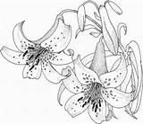 Coloring Lilies Lily Tiger Printable Drawing sketch template