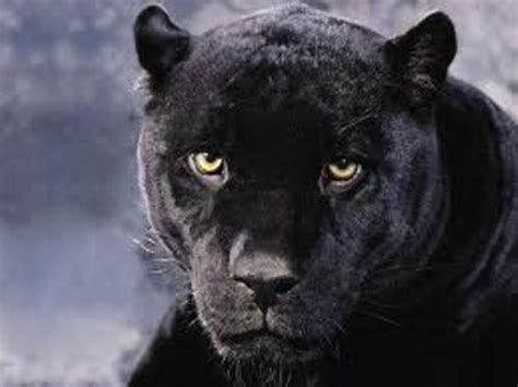 interesting panther facts  interesting facts