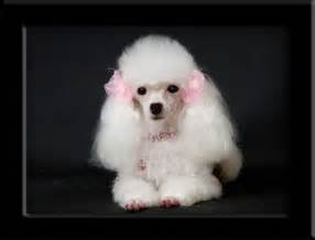 White Teacup Poodles Puppies