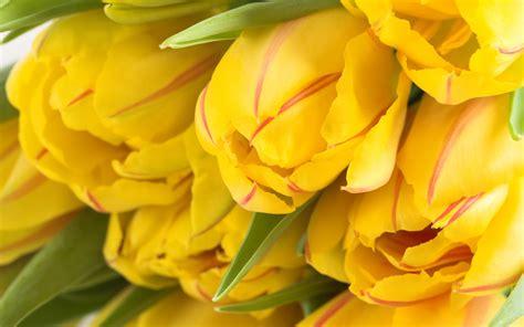 tulips background yellow - HD Desktop Wallpapers | 4k HD