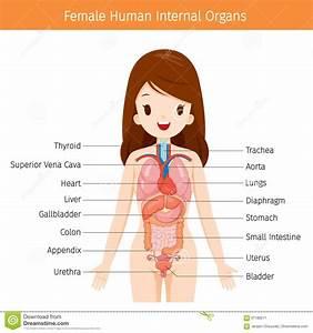 Kvinnlig M U00e4nsklig Anatomi  Diagram F U00f6r Inre Organ Vektor