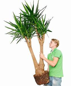 Yucca Palme Pflege : yucca verzorging tips informatie ~ Eleganceandgraceweddings.com Haus und Dekorationen
