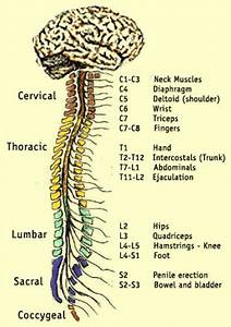 The Spinal Cord And Muscles Working Together The Spinal