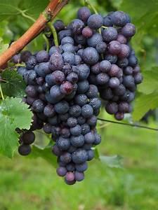 blauwe druif giftig