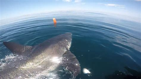 Great White Shark Munches On Whale In Ny • Tracking Sharks
