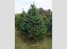 National Tree Of Scotland Scots Pine 123Countriescom