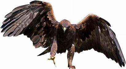 Eagle Golden Transparent Clear Pngkey