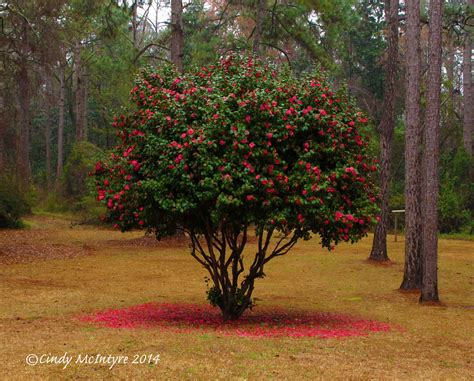 how to prune camellia tree cool camellias cindy mcintyre s blog