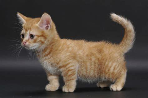 seemingly adorable munchkin cats    dark