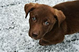 Pics For > Chocolate Labrador Puppies With Green Eyes
