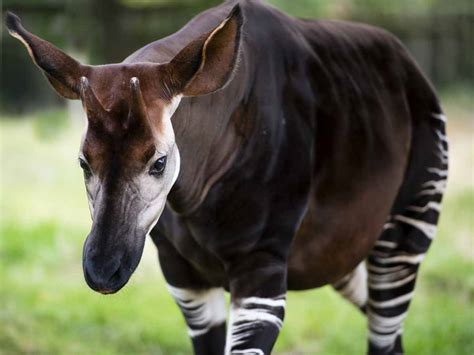 Outstandingly Enthralling Facts About The Okapi