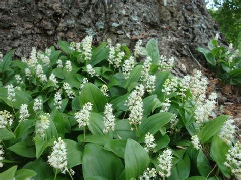 shade plants canada 69 best images about landscape survey natives on pinterest