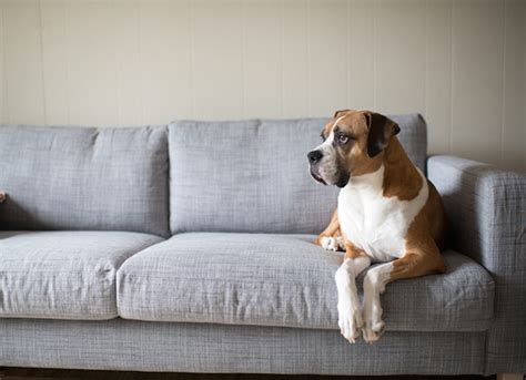 tips  keeping  dog   furniture petmd