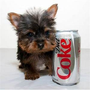 Our Yorkie Females!will remain tiny at full Grown! - Pets ...