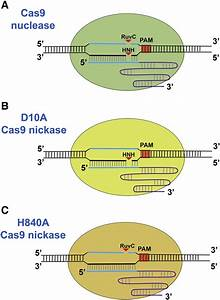 Dna Cleavage Mediated By Cas9 Nuclease And Cas9 Nickase  A