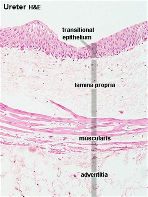 anat urinary system embryology