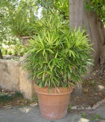 planter un bambou en pot gamm vert