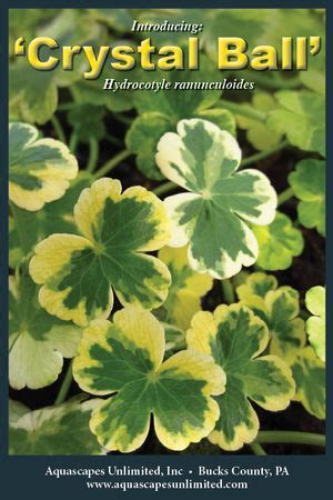 Aquascapes Unlimited by Hydrocotyle Ranunculoides
