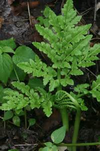 Hardy Fern Foundation