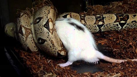 boa constrictor constricting rat youtube
