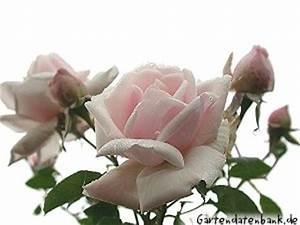 Kletterrose New Dawn : rose 39 new dawn 39 schneiden pflege u erfahrungsbericht ~ Michelbontemps.com Haus und Dekorationen