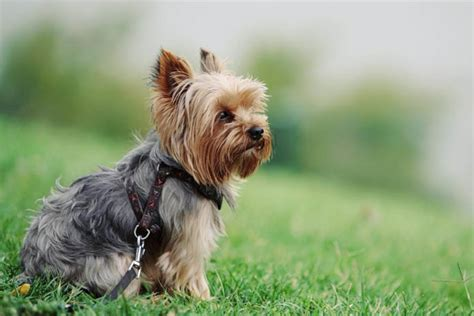 do yorkies shed hair all about yorkie shedding do yorkies shed grooming tips