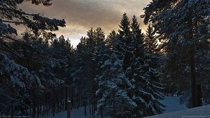 Winter Pine Trees Tree Forest Wallpapers Tv