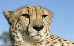 cheetah cat cheetah a big cat animals wiki pictures