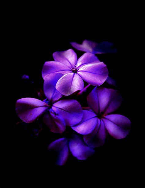 Beautiful Black Purple Flower Wallpaper High Definitions