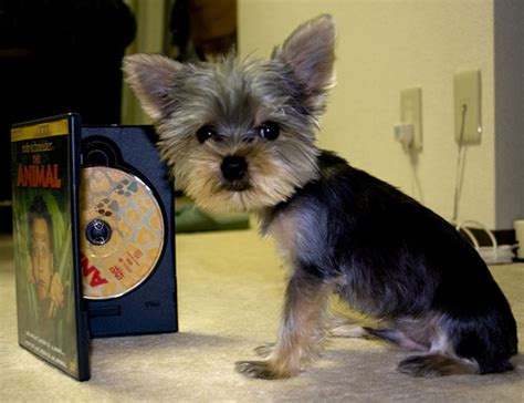 Estimate Your Puppys Weight And Size Yorkiep Ion Com