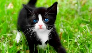 White Cat Breeds With Blue Eyes | Insured By Laura