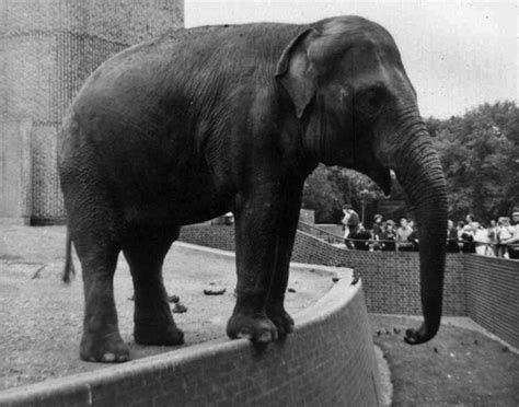 london zoo elephant earliest indian memory 1967 londonist