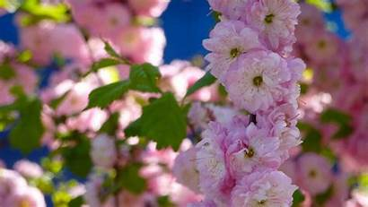 Cherry Pink Blossoms Flowers Allwallpaper Wallpapers