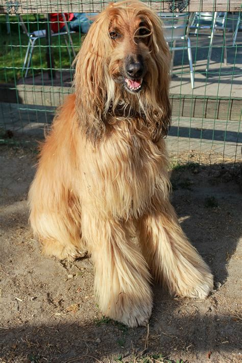 afghan hound history temperament care training