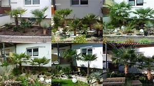 Trachycarpus Fortunei Auspflanzen : wachstumsvergleich trachycarpus fortunei seite 1 winterharte palmen ~ Eleganceandgraceweddings.com Haus und Dekorationen