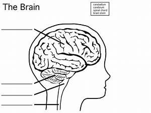 32 Blank Diagram Of The Brain